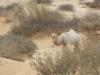 4-kamelbaby